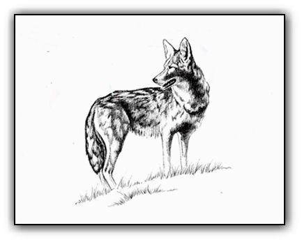 Coyote <br>Original Ink Illustration