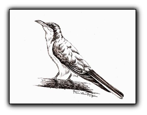 Yellow-billed Cuckoo <br>Pen and Ink Illustration