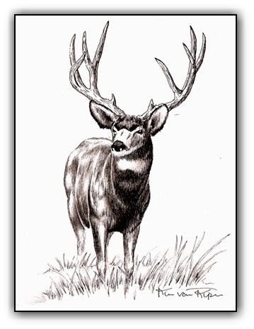 Mule Deer <br> Pen and Ink Illustration