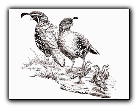 Quail Family<br>Original Pen and Ink Illustration 5 x 7