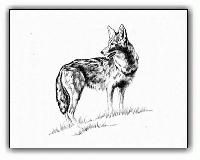 Coyote <br>Original Ink Illustration