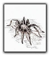 Desert Tarantula <br>Original Pen and Ink Illustration<br>8 x 10