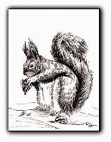 Ebert's Squirrel<br>Pen and Ink Drawing